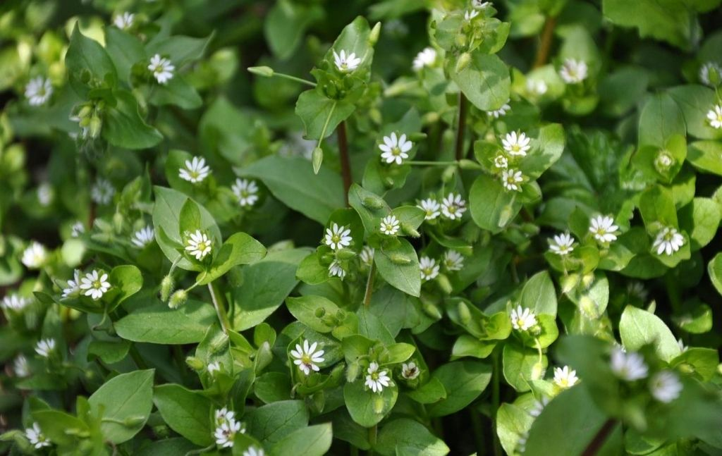 chickweed edible wild plant