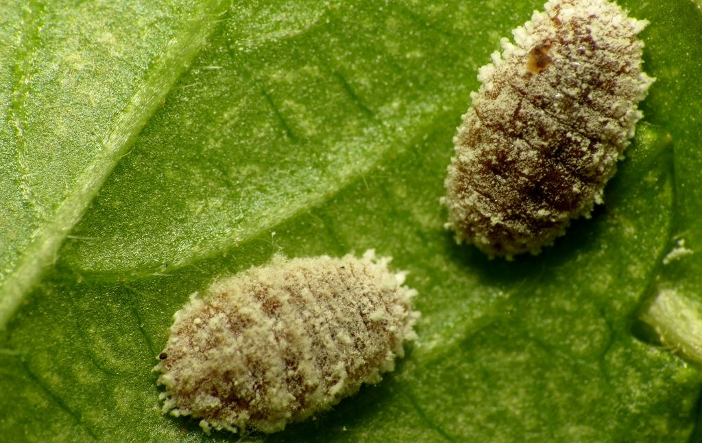 how to find mealybugs