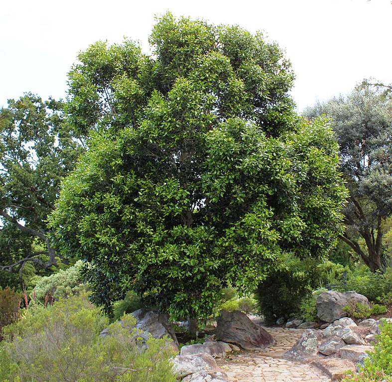 survivalists should know ironwood trees