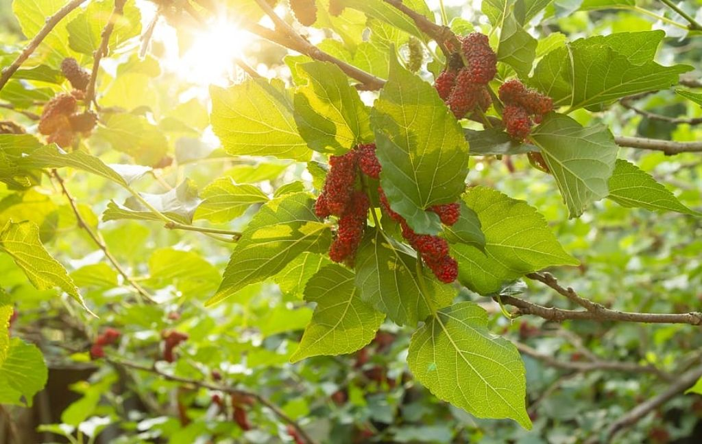 survivalist should know mulberry trees