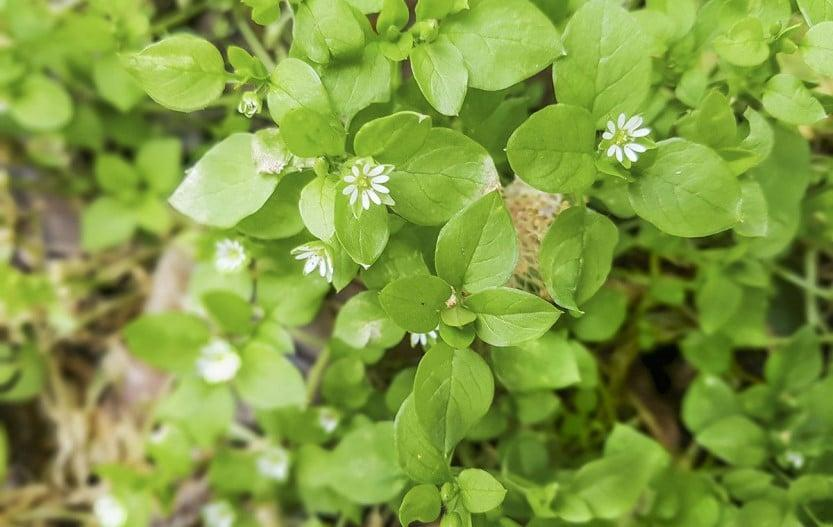 13 Common Edible Weeds That Are Nutritious