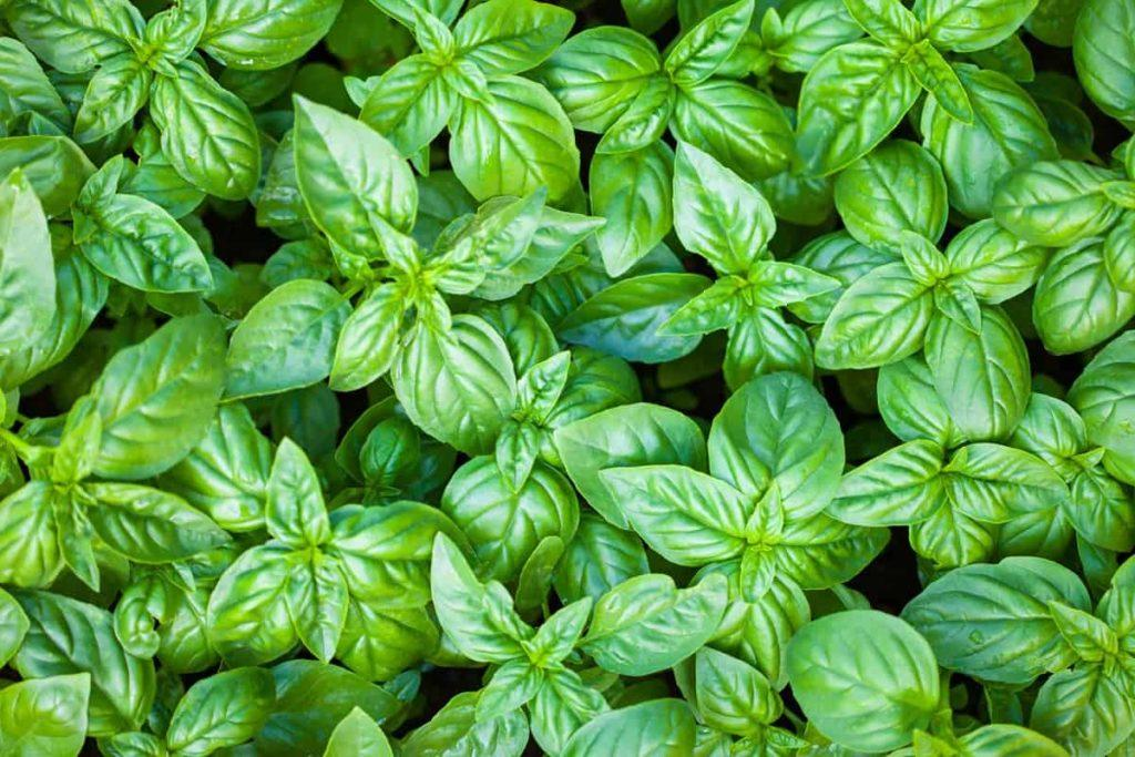 the importance of basil in your daily diet