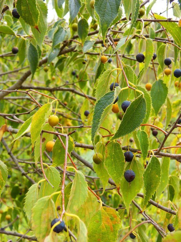 survivalists should know hackberry trees