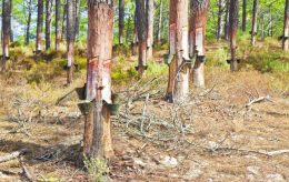 how to harvest tree sap and use it
